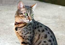 قط الماو المصري