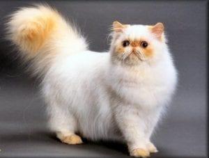 قط الهيمالايا