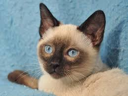 قط توينكيز