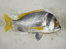 افضل انواع الاسماك في السعودية